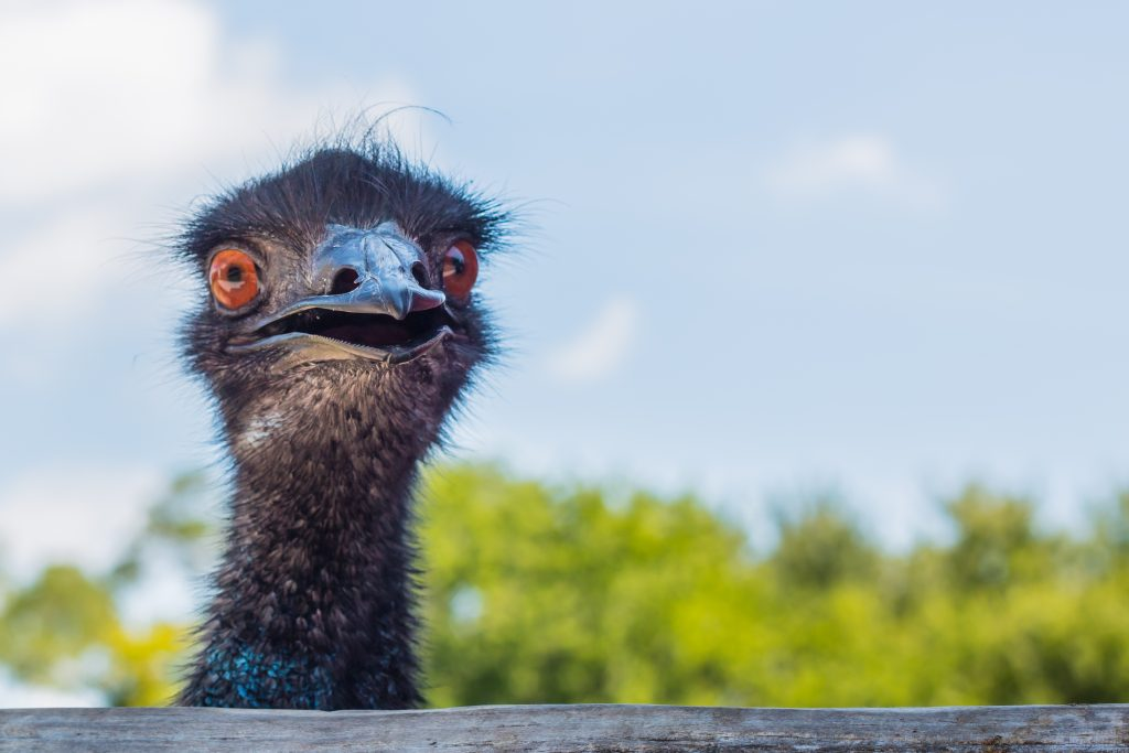 Emu-looking-at-camera-485277998_4500x3000-1024×683